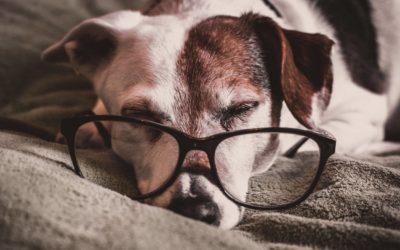 Psi staruszek – jak dbać o starzejącego się psa?