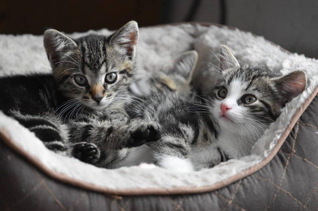 ruja u kotki, kocięta
